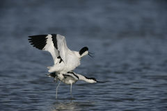 Avocet, Recurvirostra avosetta Royalty Free Stock Photo