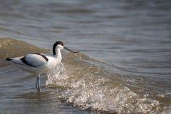 Avocet, Recurvirostra avosetta, pojedynczy ptak w wodzie obrazy royalty free