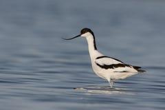 Avocet, Recurvirostra avosetta Royalty Free Stock Images
