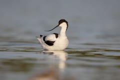 Avocet, Recurvirostra avosetta Stock Image