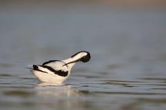 Avocet, Recurvirostra avosetta Stock Images