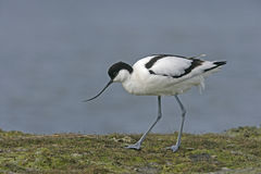 Avocet, Recurvirostra avosetta Royalty Free Stock Photos