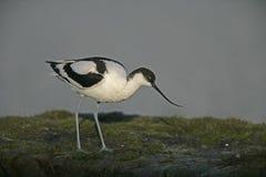 Avocet, Recurvirostra avosetta Royalty Free Stock Image