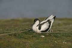 Avocet, Recurvirostra avosetta Royalty Free Stock Photography