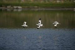 Avocet, Recurvirostra avosetta Royalty Free Stock Photos