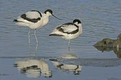 Avocet, Recurvirostra avosetta Stock Photos