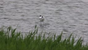 Avocet wading in water and searching for food stock video