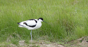 Avocet resting Stock Photography