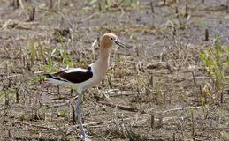 Avocet in Saskatchewan Canada Stock Image