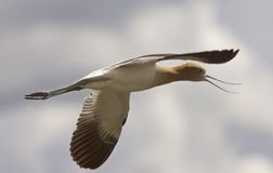 Avocet in Saskatchewan Canada in flight Royalty Free Stock Images