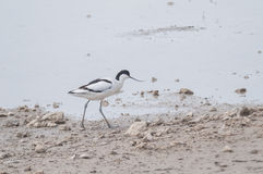 Avocet series 03 Stock Image