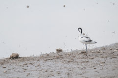 Avocet series 02 Stock Photography