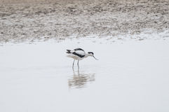 Avocet series 01 Royalty Free Stock Photography