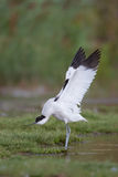Avocet with stretched wings Royalty Free Stock Photos