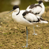 Avocet wading bird Royalty Free Stock Photos
