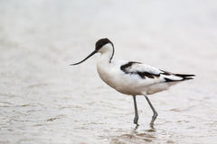 Avocet wading in water Royalty Free Stock Images