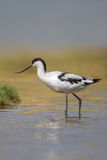Avocet wading in water Stock Image