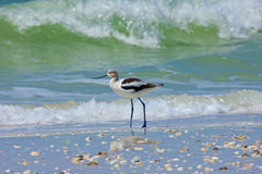 Avocet at Barefoot Beach Royalty Free Stock Photo