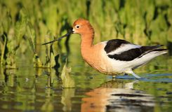Avocet Walking by Plants in Lake. American Avocet wading and fishing by plants in a wetland. Low angle picture. Water reflections and green plants in background Stock Photos