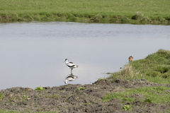 Avocet in the water Royalty Free Stock Images
