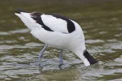Avocet in the water Stock Photos