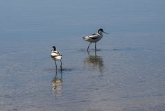 Avocets Obrazy Royalty Free