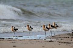 Avocets americanos en la playa Imagen de archivo libre de regalías