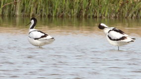 Avocets cleaning and resting stock footage