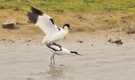 Avocets de accouplement (avosetta de Recurvirostra) Images stock