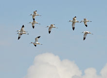 Avocets in flight. Avocets  team flying in the cloudy sky Stock Photography