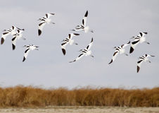 Avocets Group Royalty Free Stock Images