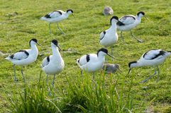 Avocets and redhanks Stock Image