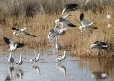 Avocets Take-Off Royalty Free Stock Images
