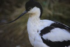 Avocette photo stock
