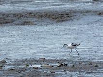 Avocette pie, avosetta de Recurvirostra, dans les mudflats photos libres de droits