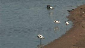 Avocetvögel, die in den Schlamm einziehen stock video