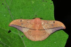 Avogado moth butterfly Stock Photo