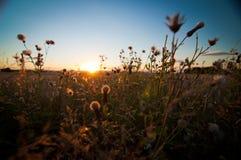 Avoine au coucher du soleil Image libre de droits
