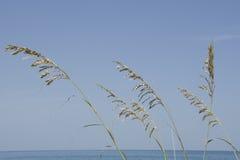 Avoine de mer Photo stock