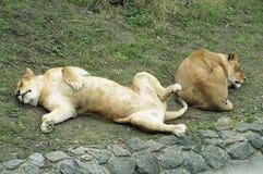 avoir le reste deux de lions Photos stock