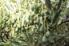 Avokado på ett träd royaltyfri foto