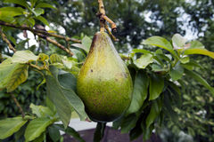 Avokadofrut som hänger från träd Arkivfoton