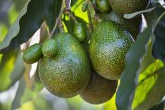 Avokadon på ett träd, Kenya royaltyfria foton