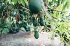 Avokadoträd arkivbilder
