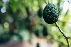 Avokadoträd royaltyfri bild