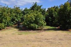 Avokadoträd i en fruktträdgård med spjällådan för lagring Arkivfoton