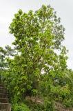 Avokadoträd med mogen frukt arkivfoto
