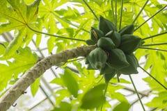 Avokadoträdfrukter stänger sig upp Royaltyfri Foto