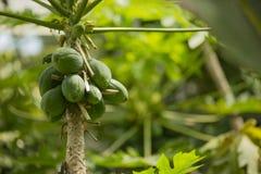 Avokadoträdfrukter stänger sig upp Arkivfoto