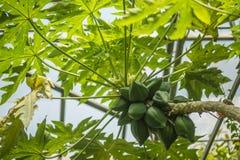 Avokadoträdfrukter stänger sig upp Royaltyfria Foton